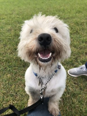Meet Robbie! Adopting a westie from Brysons Animal Shelter