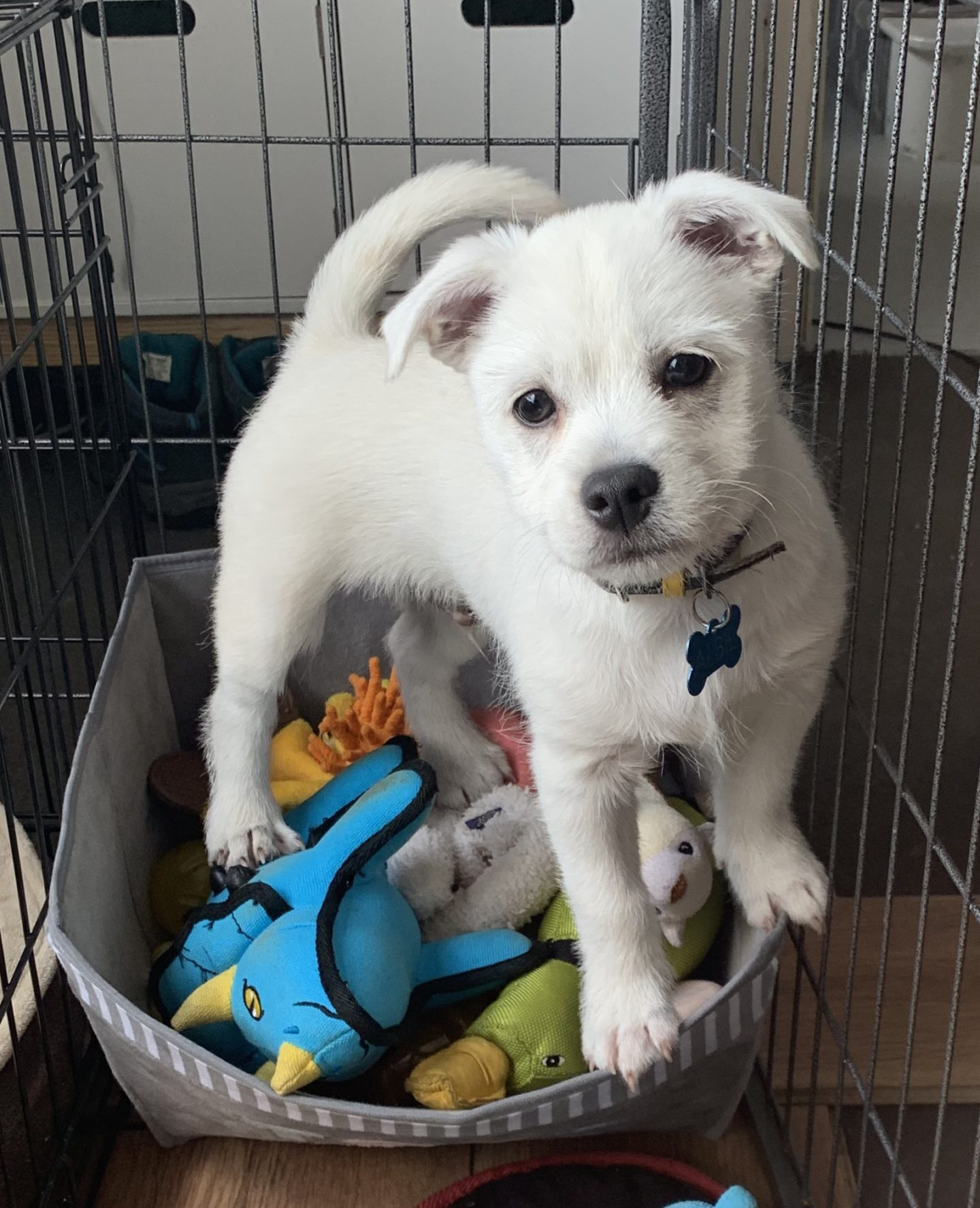 westie puppy standing on a pile of dog toys from Pets at Home.