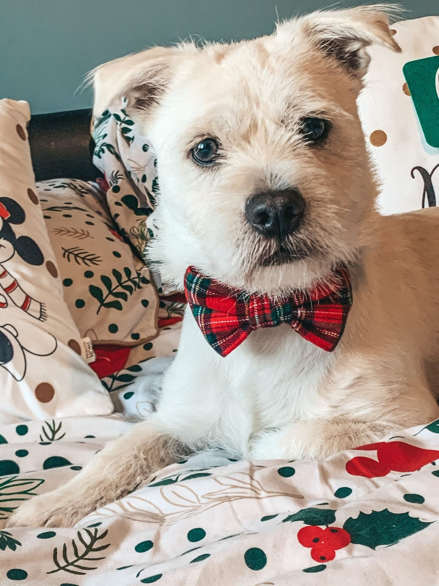 Hounds of Meade red tartan bow tie for dogs worn by a westie